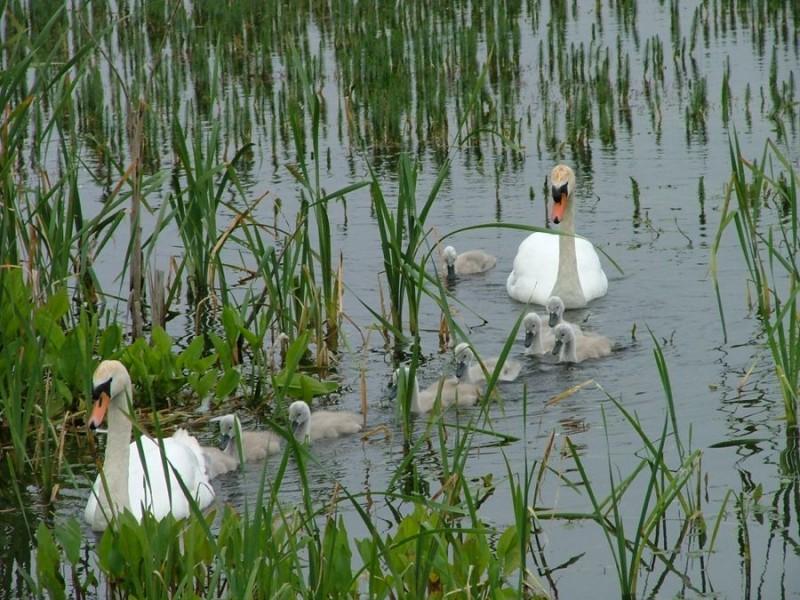 Swans on holy Island